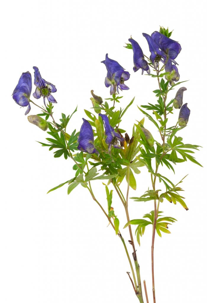 Monkshood Remedy for Fear Aconitum napellus (Aconite or Acon)