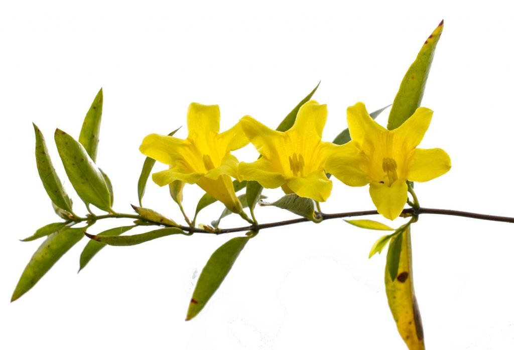 Gelsemium Sempervirens Remedy for Fear (Gels) Yellow Jasmine